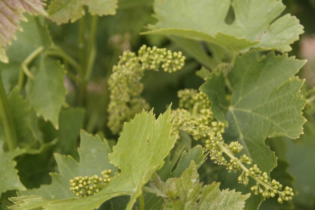 Fleur De Vigne Chemins Vignerons