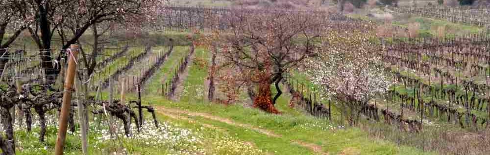 chemins-vignerons springtime in Languedoc