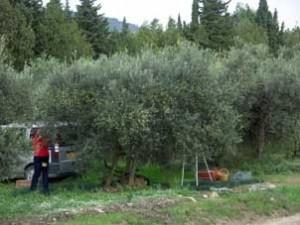 olive1 300x225 Lhuile dolive et le vin de la vallée des Baux