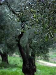 olive2 Lhuile dolive et le vin de la vallée des Baux