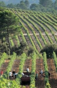 vendangeprovence 195x300 Côtes de Provence