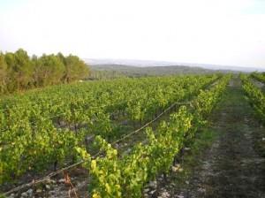 lesgrenachesloscescalades 300x224 Clos des Calades   AOC Languedoc