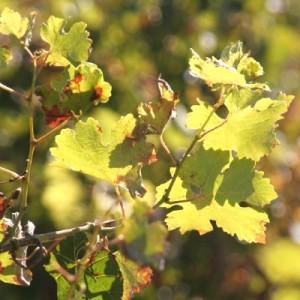 feuilles vendanges 300x300 Le millésime 2010